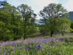 Bluebells near Lanty's Tarn - a short walk from the cottage