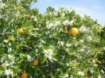Orange groves surround Miramar. Notice fruit and blossom at the same time - a regular occurrence.