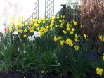 Garden daffodils
