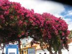 The Bouganvillia is fabulous