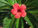 Ibiscus: a flower found all year around