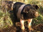 This little piggy….