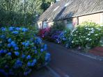 'Under the Oaks' in full bloom