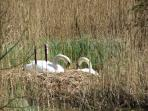 Swans nesting on the lake in the Nature Reserve.
