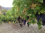 vine harvest