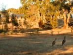 Our resident kangaroos