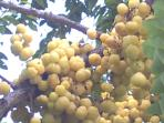 A villa with a difference : sour grapes (bilimbi) worth tasting