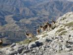 ibex near the summit of Maroma (photo taken by 1 of our guests)