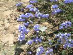 Cyprus flowers