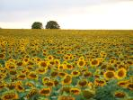 Sunflowers one evening in a field behind the gite