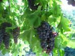 Grapes from the pergola