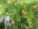 in the garden (pomegranate trees)