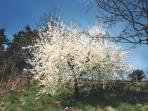 ..ammirare il mirabolano fiorito...