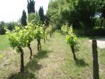 Our little vineyard