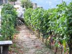 Vineyard around the house