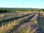 A field of lavender in July. Les Redons in the background