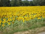 sunflowers in nearby fields