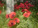 Poppies at Wedderburn