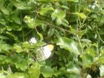 Butterflies at Wedderburn