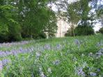 Bluebells at Wedderburn