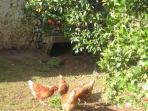 las gallinas ponen huevos que podremos degustar