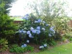 Beautiful hydrangea in full bloom can be seen from apartment.