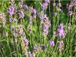 Lavender in Pear Tree Farm's garden