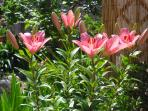 Beautiful lily in the garden