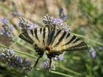 Swallow Tail Butterfly (a regular Summer Visitor)