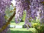 april wisteria glory
