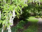 White wisteria view form Lakeside Cottage in Nov