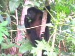 Howler Monkey Next To House