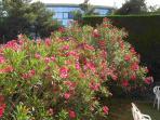Oleanders in the private garden
