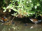 Wildlife Pond our Moorhens