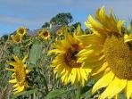 sunflowers beside Cockle Kitty.
