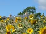 Sun flowers growing beside the cottage