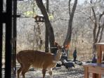 bushbuck on patio