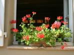 the summer geraniums at the kitchen window