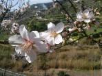 Almond tree flowering around villages gardens