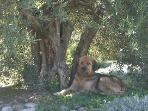 Lazy day under the Olive tree