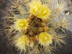 Fiori pianta grassa