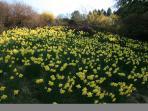Wander through the Daffodil garden in Spring