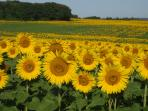 Fields of Sunflowers in the Vendee Countryside