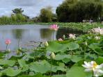 The Lotus Lake at the Tropical Gardens at St Cyr Talmondais