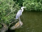 A regular visitor to Heron Cottage