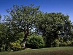 Mature oak trees- a feature of the spacious gardens