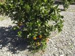 pyo oranges
