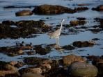 Heron, Roomebay, Crail