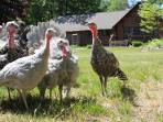 Our flock of free-ranging heritage turkey