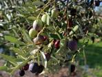 OLIVE PICKING experience and local olive oil tasting free with week bookings in November!
